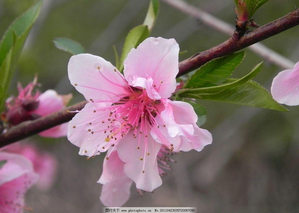 桃花 桃花特写 桃叶 花蕾 漂亮 好看 风景 红色 春天 清晨