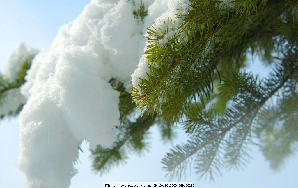 大雪压青松 雪 雪景 冰雪 下雪 松 松树 松枝 冬天 自然风景 自然景观