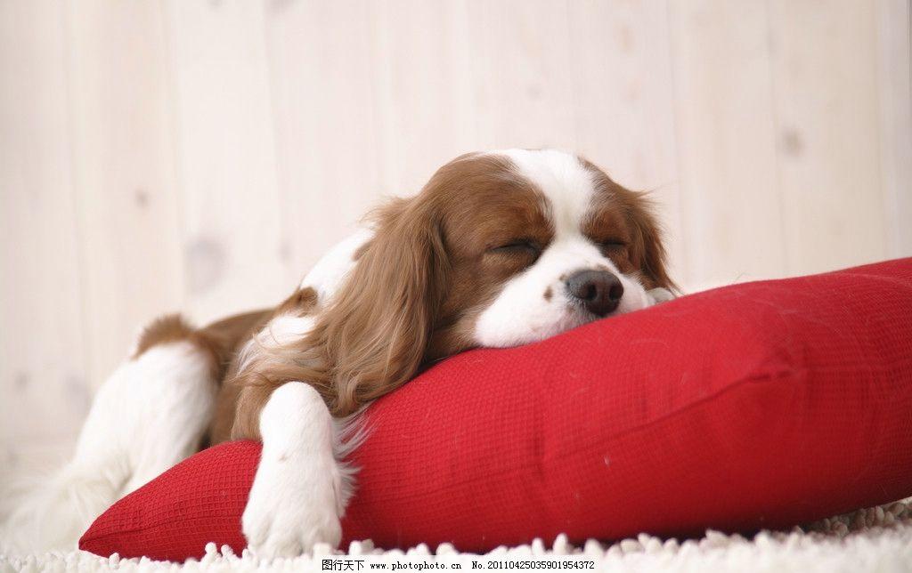 宠物狗 宠物 小狗 可爱 动物 沙发 家禽家畜 生物世界 摄影 350dpi