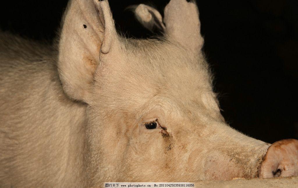 宝宝认动物图片猪