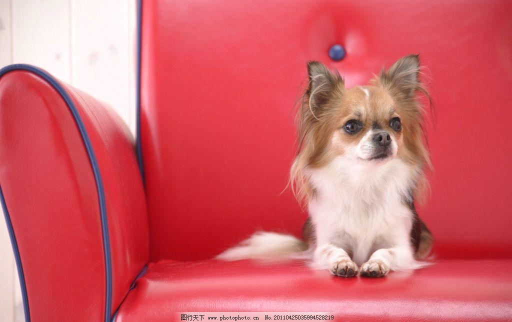宠物狗 小狗 可爱 动物 沙发 摄影