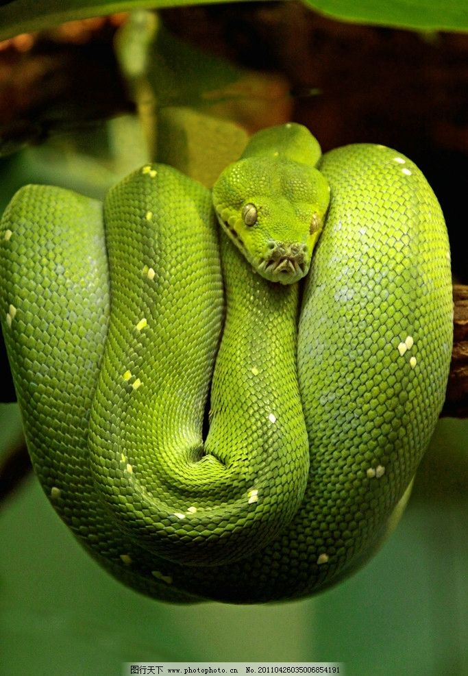 青蛇 树上蛇 图库 野生动物 生物世界 摄影 72dpi jpg