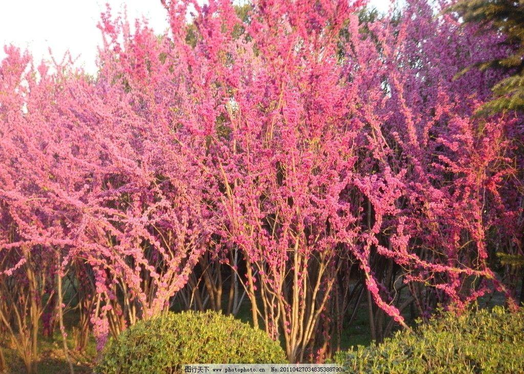 紫荆花 上海长风公园 紫色 下午 阳光明媚 植物 自然景观 自然风景