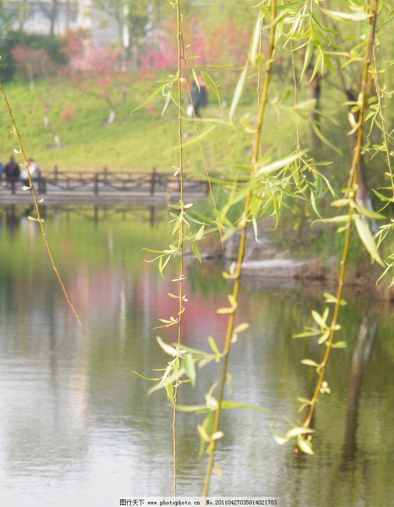 湖边柳树图片