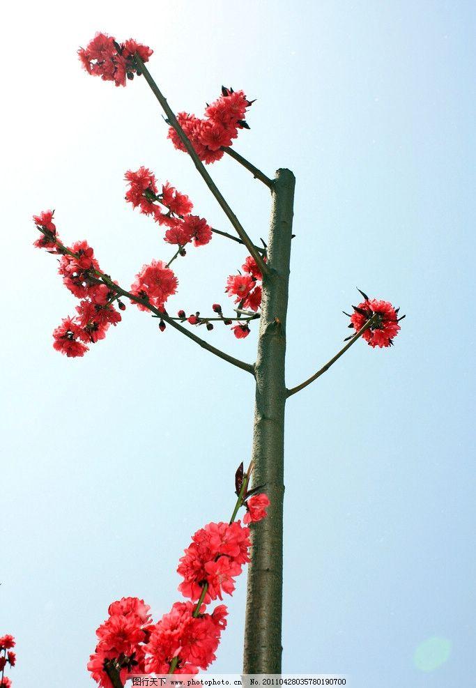 美丽花朵 春天 桃花 漂亮花朵 花草 生物世界 摄影 72dpi jpg