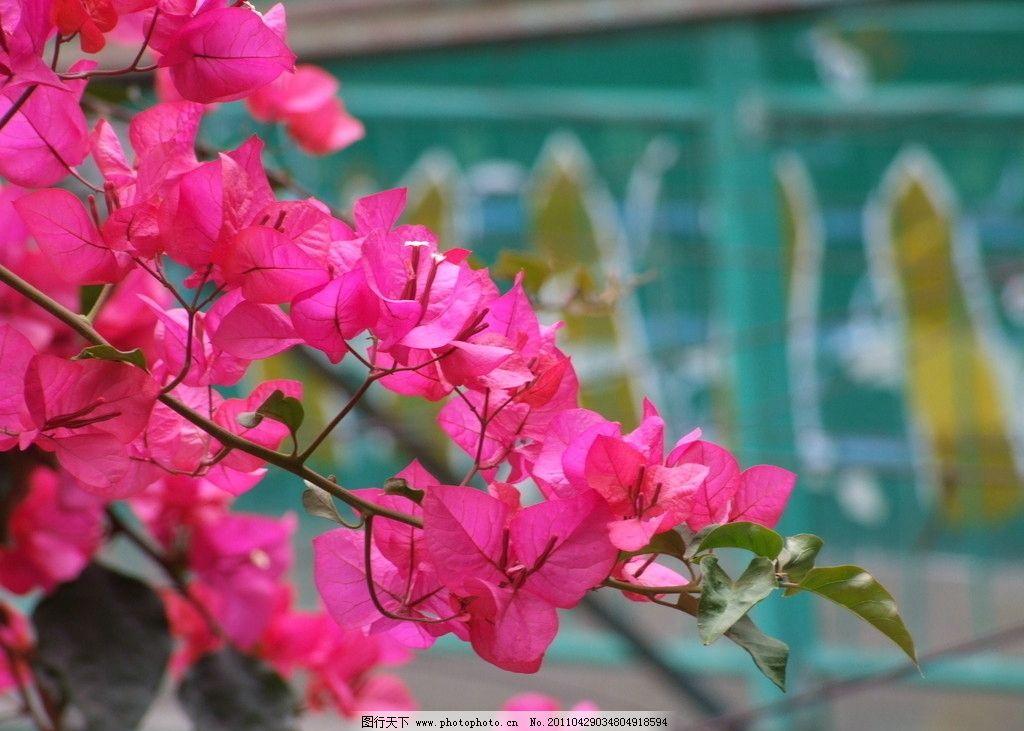 三角梅 粉色 背景虚化 自然风景 自然景观 摄影 72dpi jpg