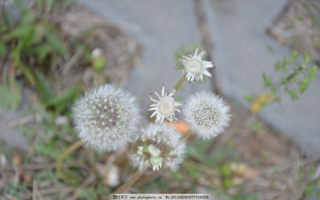 蒲公英种子花图片