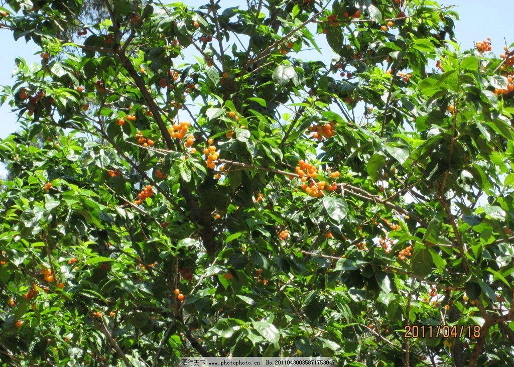 果实 树 樱桃 丰硕果实 树木树叶 生物世界 摄影 180dpi jpg