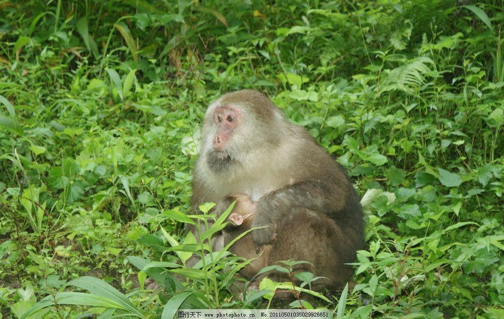 四川峨眉山的猴子 四川 峨眉山 猴子 母子 野生动物 生物世界 摄影 72