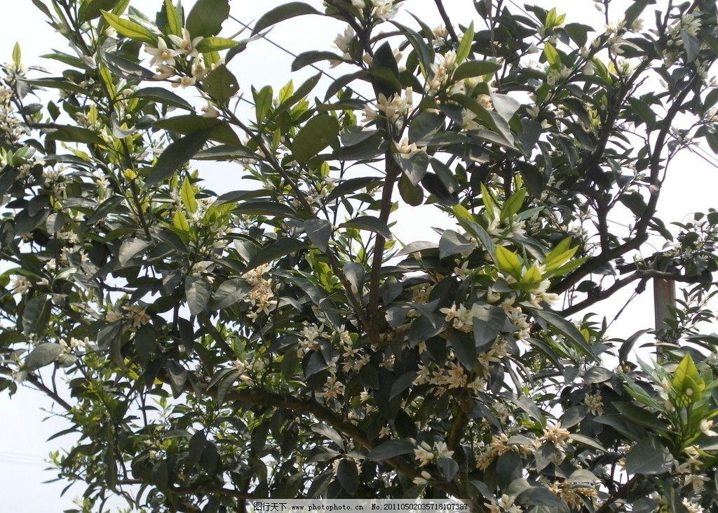 橘子花 花朵 绿色 叶子 树木 白色花 花草 生物世界 摄影 480dpi jpg