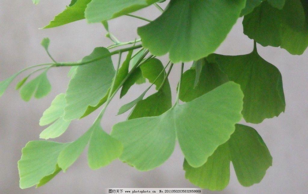银杏 高清绿色银杏树叶 树木树叶 生物世界 摄影 72dpi jpg