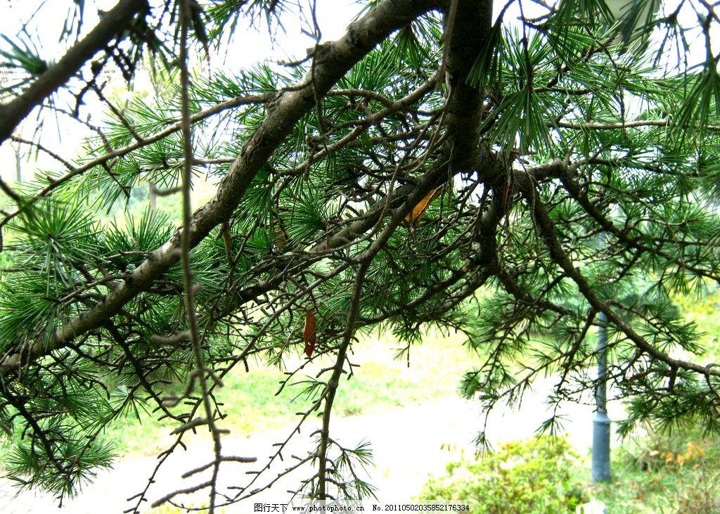 松树 松树近景 万青不老松 树木树叶 生物世界 摄影 180dpi jpg