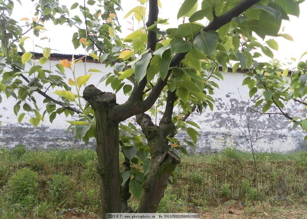 高换梨树 高换 梨树 黄瓜山 尖山村 树枝 树叶 绿色 春天 果实 树木树