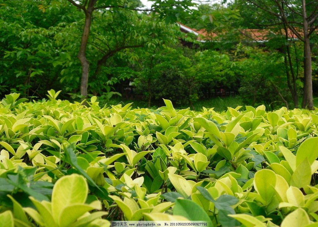 绿叶凉亭 冬青树图片