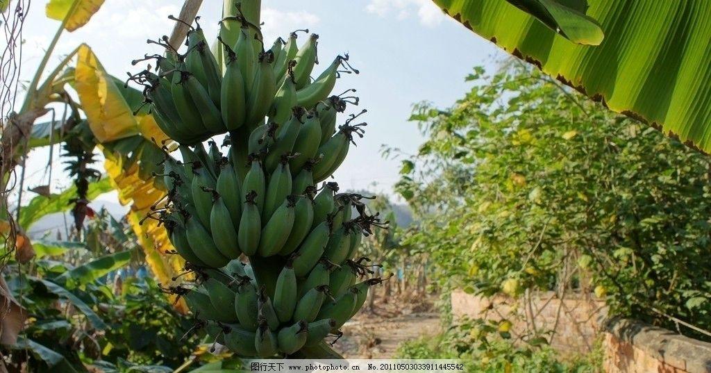 香蕉树 云南 景洪市 西双版纳 景仑 国家aaa级风景区 曼迈桑康村 民族