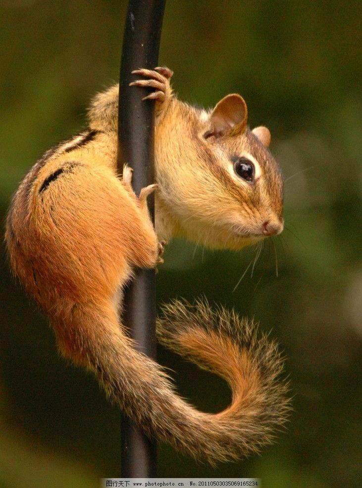 花栗鼠 可爱小动物 松鼠科 昼行性动物 野生动物 生物世界 摄影