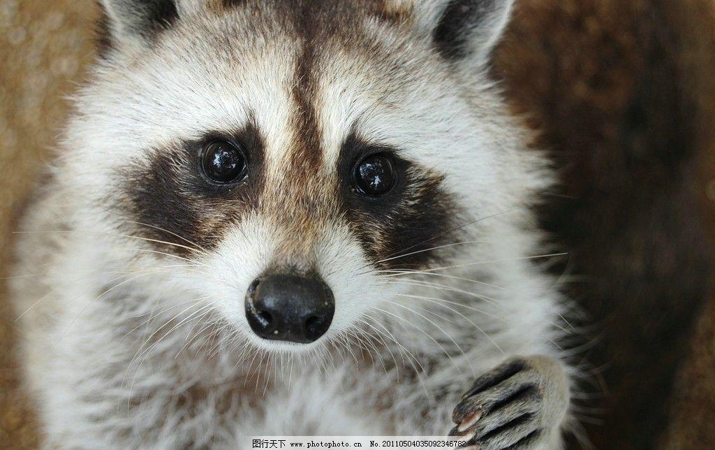 小浣熊 委屈的表情 招手 动物园里的小浣熊 小猪熊 野生动物 生物世界
