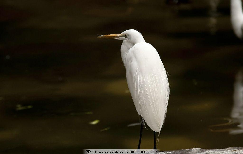水边的白鹭 动物 鸟类 鸟 白色 白鹭 水边 沉思 思考 观察 休息 羽毛
