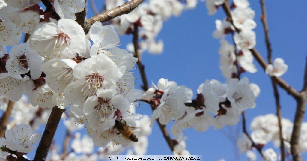 梅花 生物世界 植物 花草树木 花朵 花枝 蓝天 花蕊 花草 摄影 350dpi
