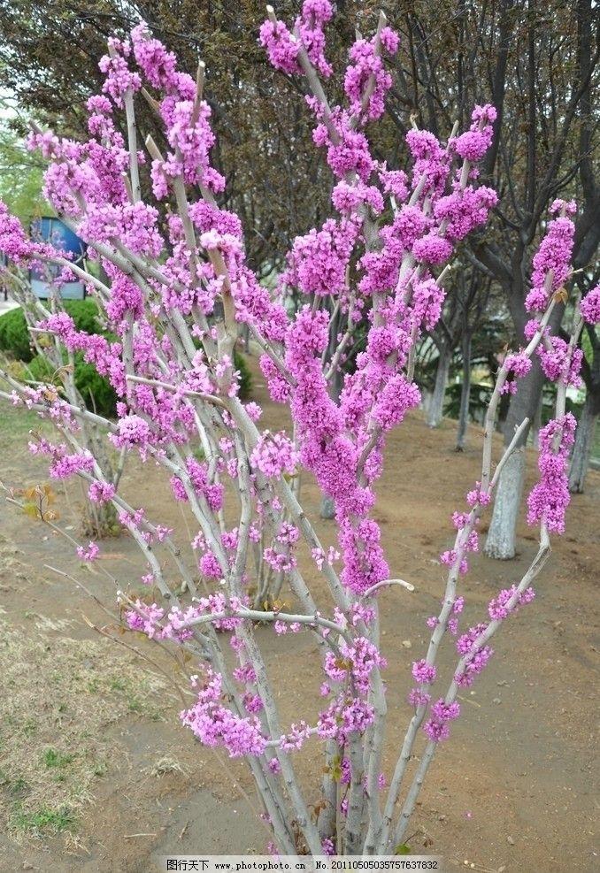 紫荆 花卉 满条红 裸枝树 豆科紫荆属 花先叶开放 花树一棵 粉红色