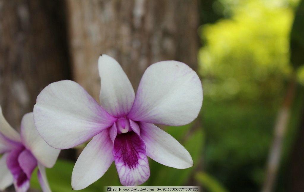 寄生兰花 寄生 兰花 泰国 热带植物 普吉岛 花草 生物世界 摄影 72dpi