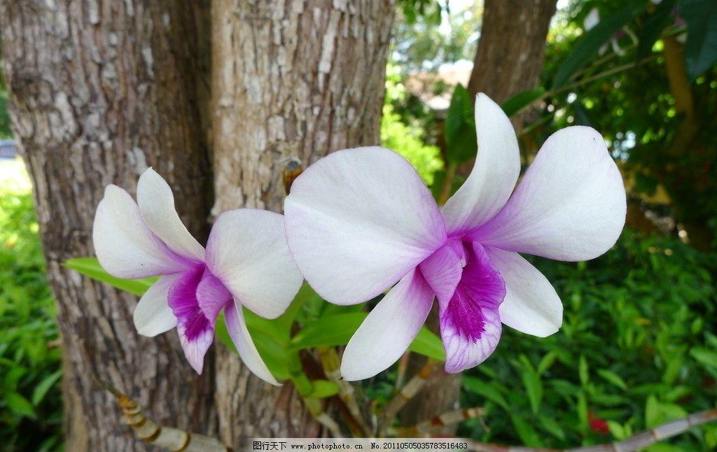 兰花 植物 寄生 泰国 普吉岛 花草 生物世界 摄影 180dpi jpg