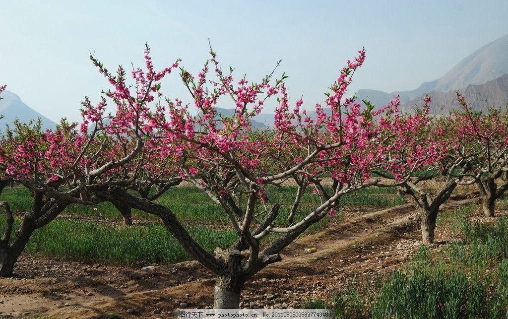 桃树 麦田 蓝天 桃花 春天来了 花朵 树木 小草 摄影