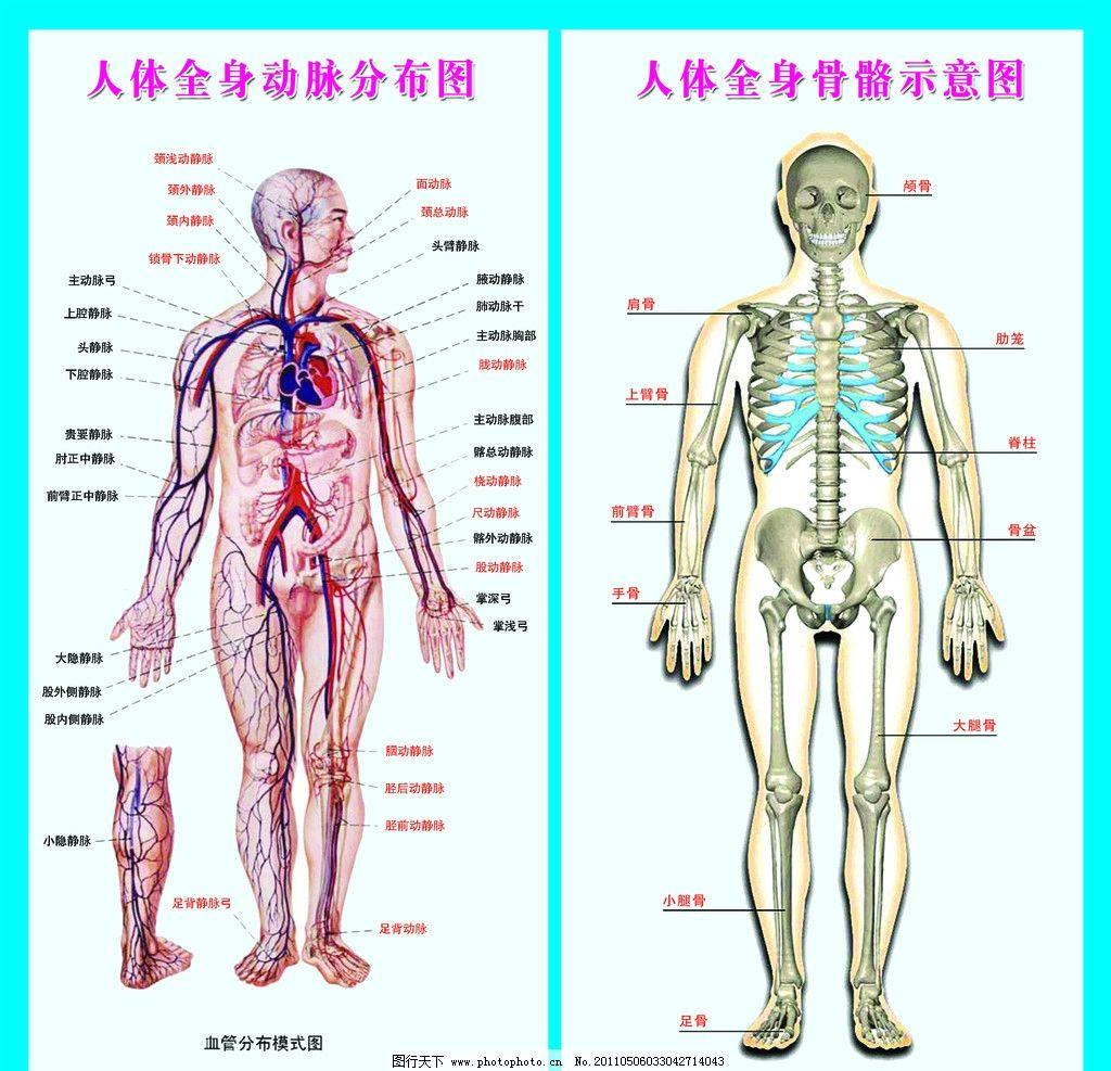 人体全身动脉发布图 人体全身动脉分布图 人体全身骨骼示意图 展板