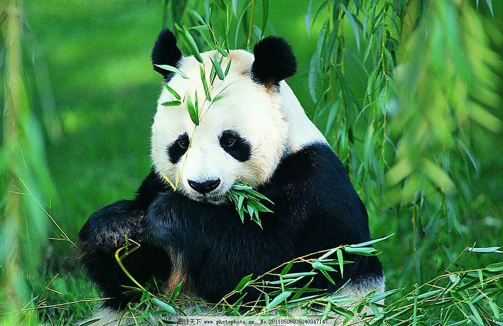 熊猫 宝宝 野生动物 生物世界 摄影