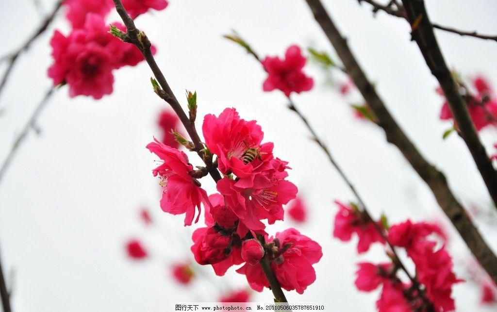粉红桃花 天空 福州南江滨 春天 绿叶 摄影花草