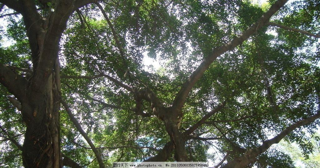 榕树 树叶 树枝 摄影