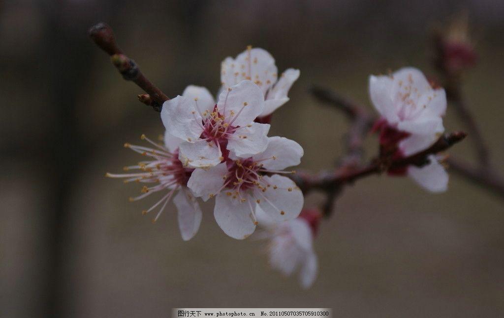 桃花 花 花蕊 花瓣 花蕾