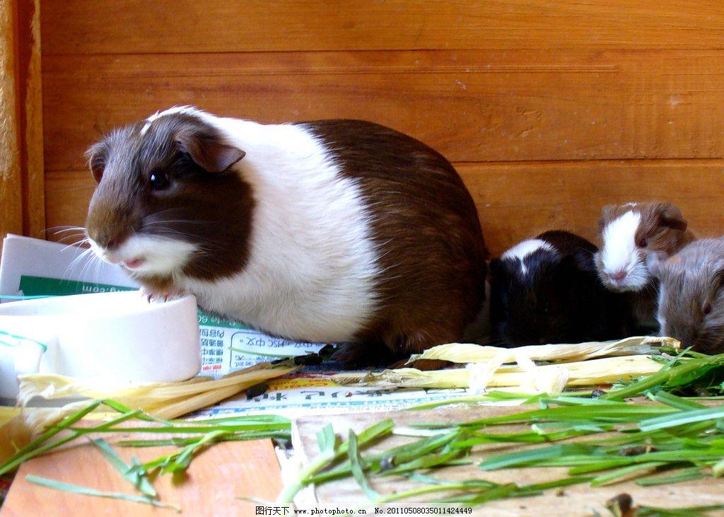 四只豚鼠 荷兰猪 天竺鼠 葵鼠 几内亚猪 可爱 温顺 彩猪 食草动物