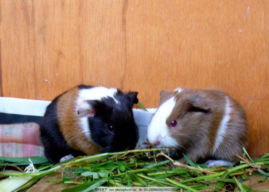 两只彩猪 荷兰猪 天竺鼠 葵鼠 豚鼠 几内亚猪 可爱 温顺 食草动物