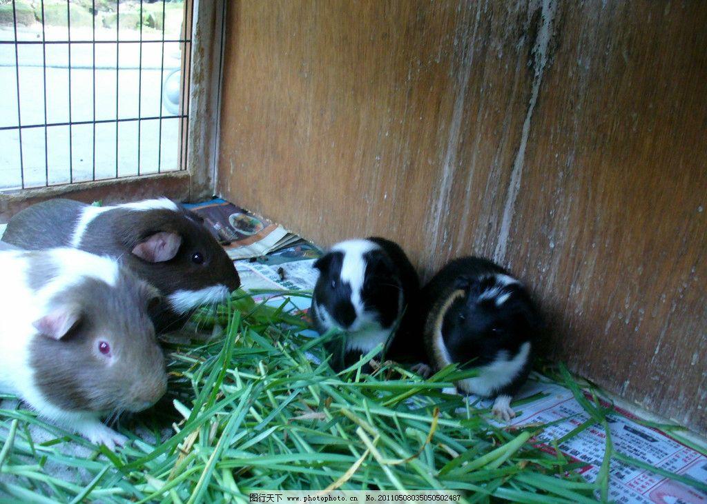 四只豚鼠幼仔图片_野生动物