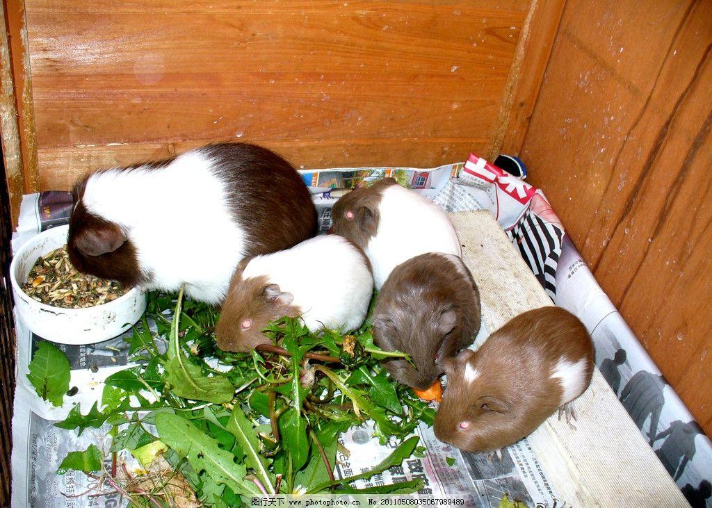 荷兰猪 天竺鼠 葵鼠 豚鼠 几内亚猪 可爱 温顺 动物 鼠类 宠物
