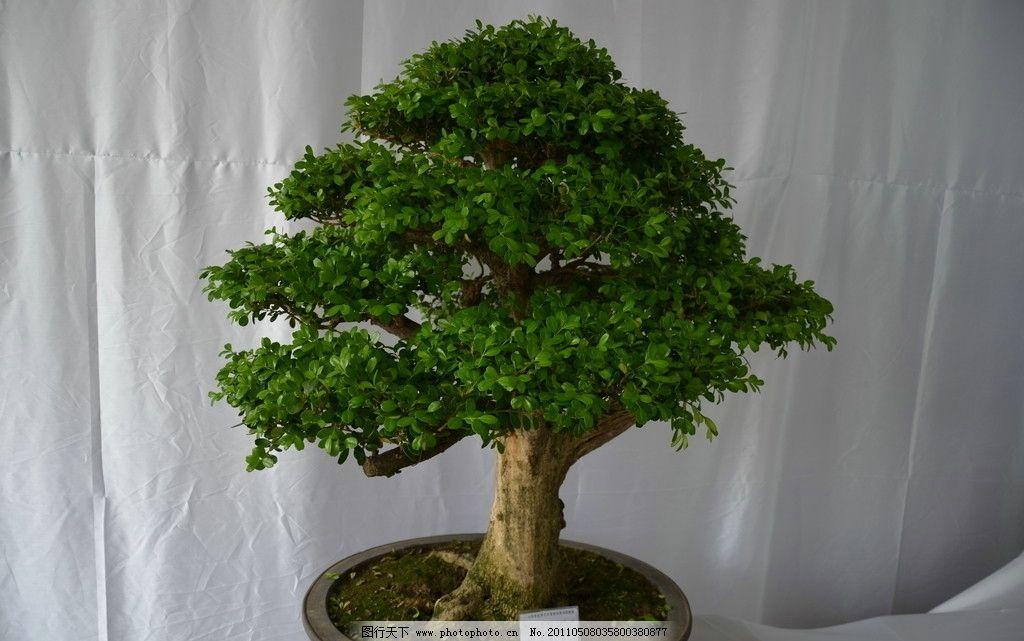 黄杨 树木 盆景 青岛 枯桃花卉展 花草树木 树木树叶 生物世界 摄影