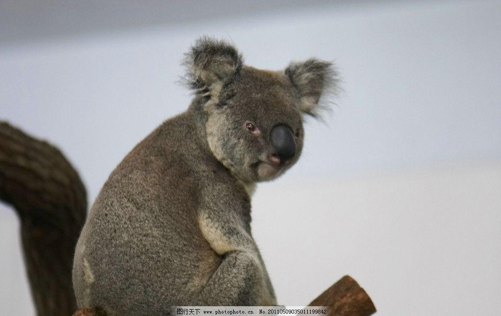 无尾熊 澳洲 休息 玩偶 尤加利树 保育动物 野生动物 生物世界 摄影