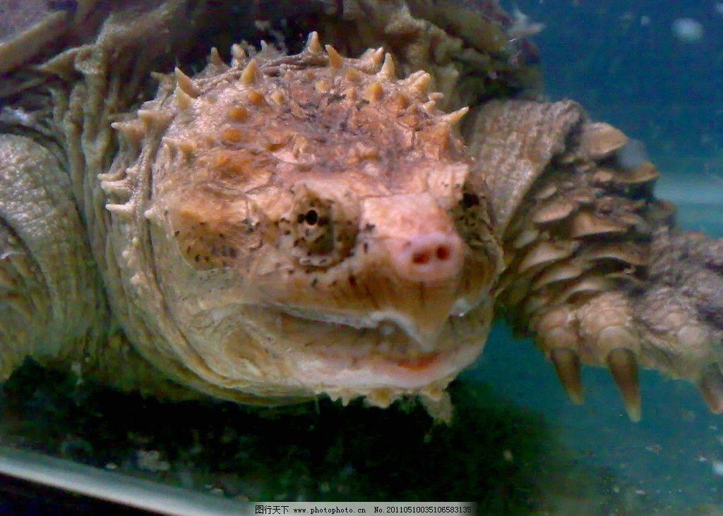 龟龟 龟 可爱 生物 海洋 海洋生物 生物世界 摄影 300dpi jpg图片