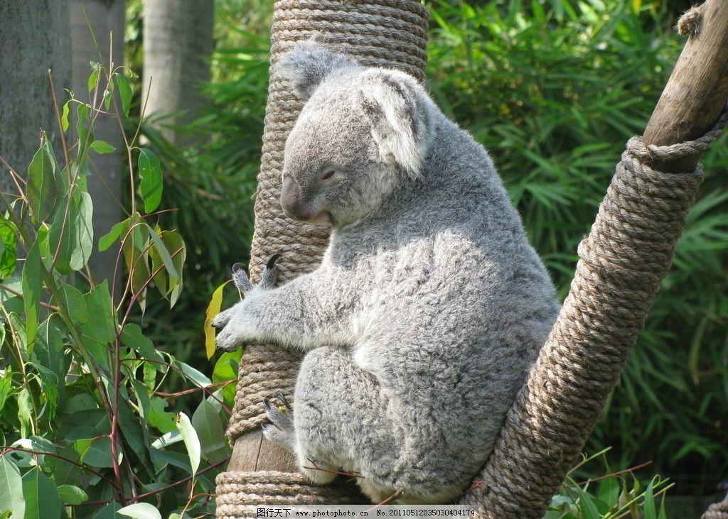 考拉 长隆 动物园 野生动物 生物世界 摄影 180dpi jpg