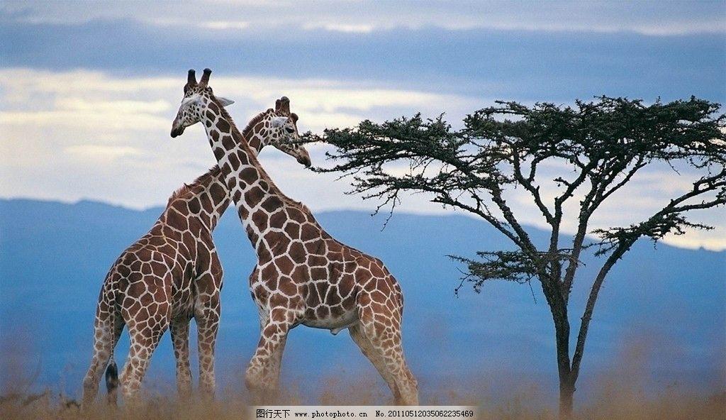 南非迈克尔钻石背景图 长颈鹿 非洲 自然 动物 野生动物 生物世界