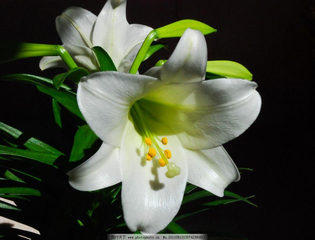 白色百合花 百合花 花卉摄影 盛开 高雅 叶子 强瞿 番韭 山丹 倒仙