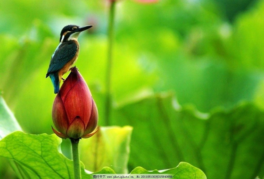 荷花鸟 鸟 荷花 荷溏秋色 自然 风景 秋天 鸟类 生物世界 摄影 72dpi