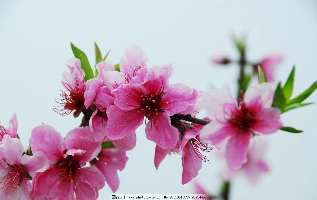 桃花 春天 花卉 摄影