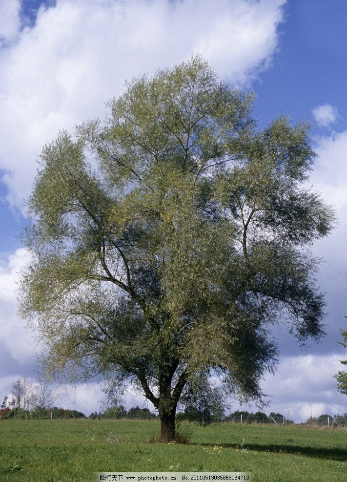 四季树木 自然景观 蓝天白云 大树 绿色 大自然 风景 摄影 树枝