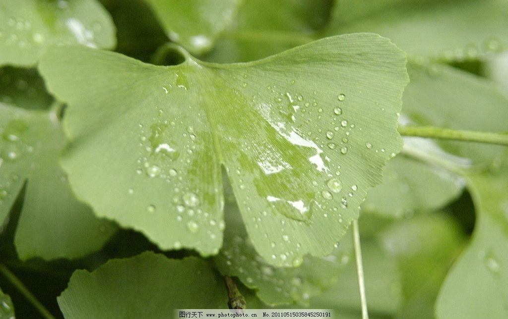 银杏叶子 银杏 叶子 水珠 文案 绿色 蝴蝶 树木树叶 生物世界 摄影