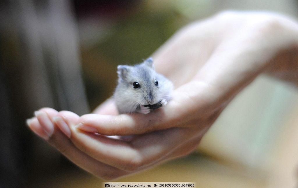 仓鼠 小宠物 另类宠物 小仓鼠 小宠 可爱 小动物 宠物 紫仓 紫仓宝宝