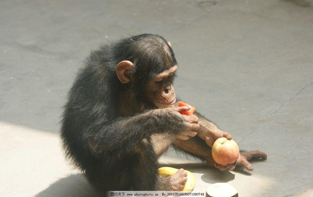 贪吃 贪嘴 贪婪 贪婪的黑猩猩 贪吃的小猩猩 贪嘴的小猩猩 可爱的猩猩