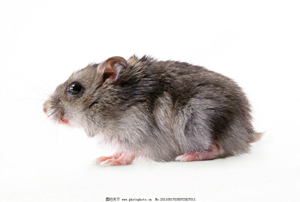 老鼠 动物 位图 高精度 摄影 照片 像素 野生动物 生物世界