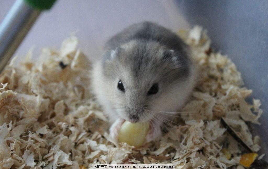 仓鼠 吃玉米 仓鼠球 野生动物 生物世界 摄影 72dpi jpg